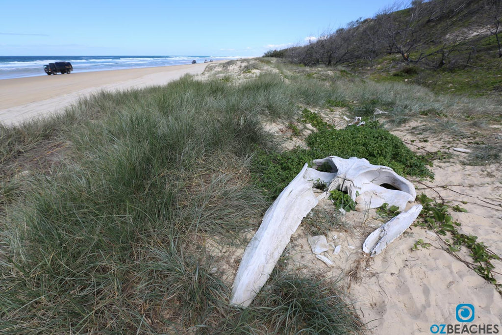 A partial skull of a whale about a 5min walk south from Eli Creek