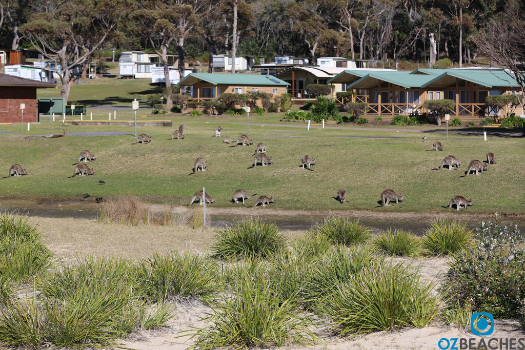Kangaroos feeding on the beach at Merry Beach