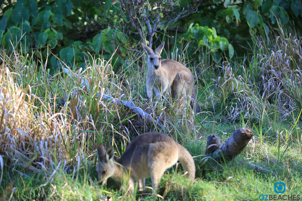 Kangaroos are common on North Stradbroke Island QLD
