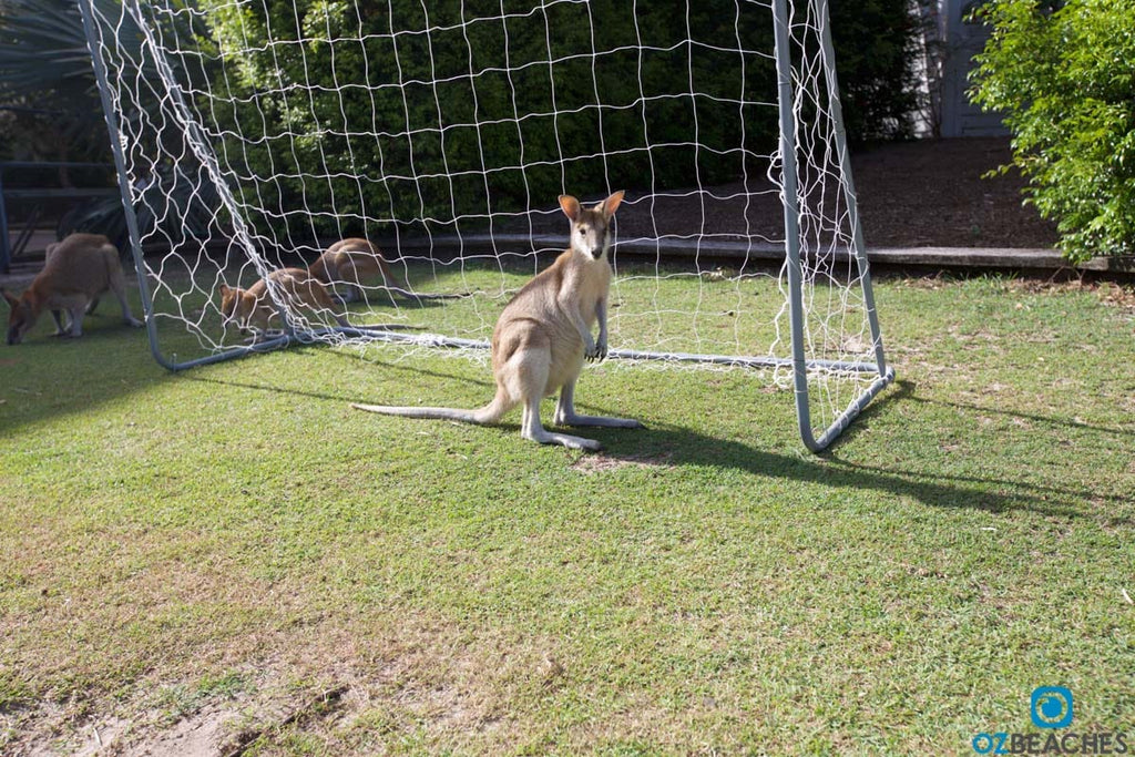 Kangaroo playing soccer goalkeeper on South Stradbroke Island