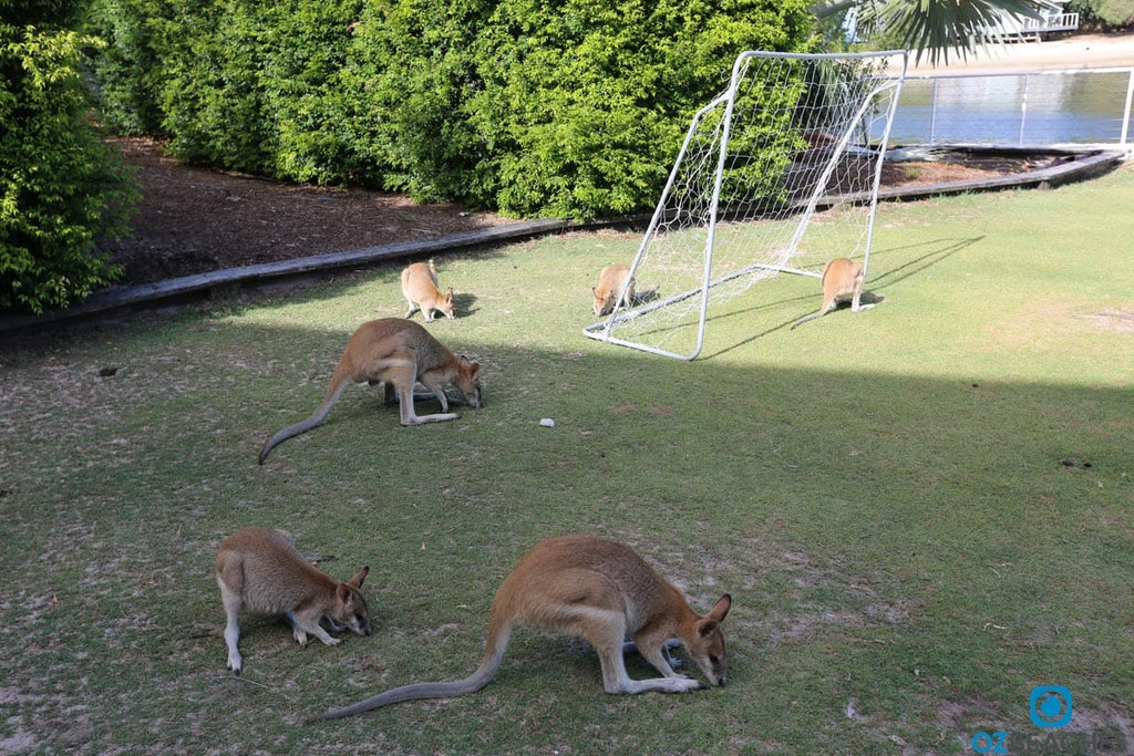 Six kangaroos playing soccer on South Stradbroke Island