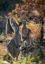 Load image into Gallery viewer, Kangaroos I