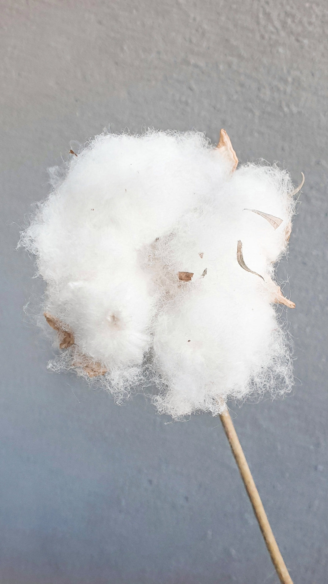 LITTLE COTTON STEM