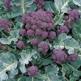 Purple sprouting (£4.50/kg)