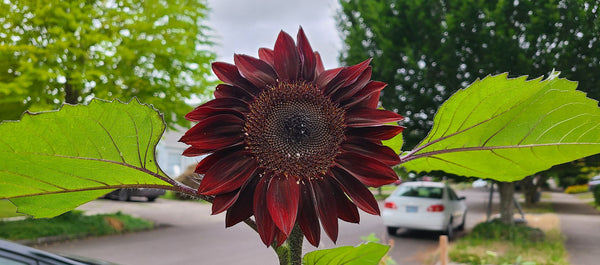 Dark red sunflower