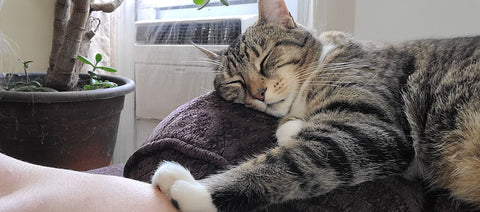 Sleeping cat with paw on shoulder