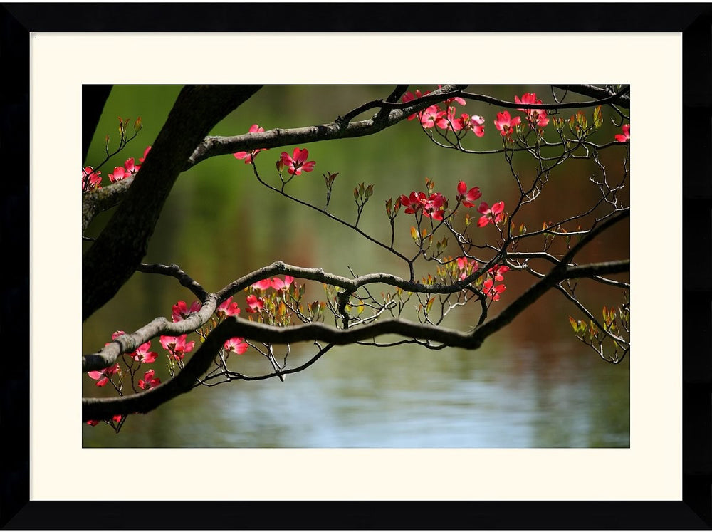 "39x29"" Andy Magee Dogwood in Bloom Framed Print"