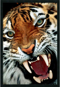 Amanti Art Bengal Tiger Close-Up Framed Art Gel Coated AA169878