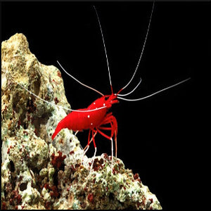 Blood red shrimp