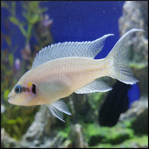Brichardi cichlid