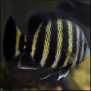 Butter tailapia cichlid