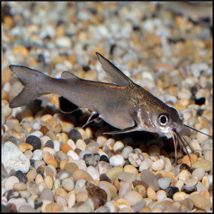 Jardini shark catfish