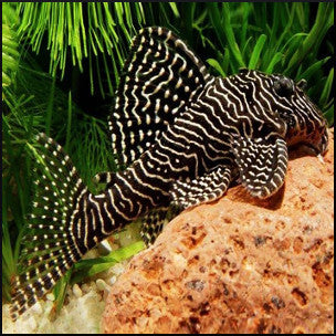 Queen arabesque pleco  L260
