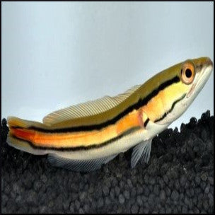 Channa micropeltes (red snakehead)