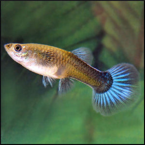 guppy female mixed colours