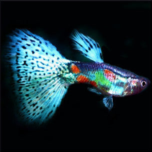 Multicolour tail guppy male