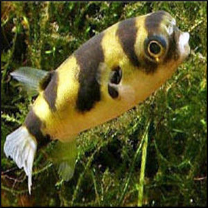 South american puffer