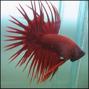 Male betta crowntail red