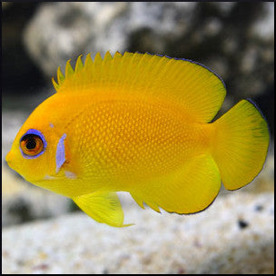Lemon peel angelfish