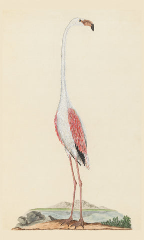 Flamant rose (303)