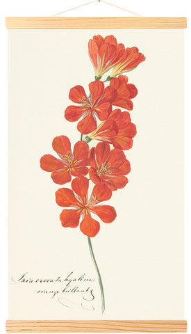 Tritonia Crocata (Flame Freesia)  (309)