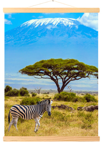 Solitary zebra & Acacia tortilis, south-eastern Kenya, Amboseli park, at the foot of Kilimanjaro, Affrique (557)