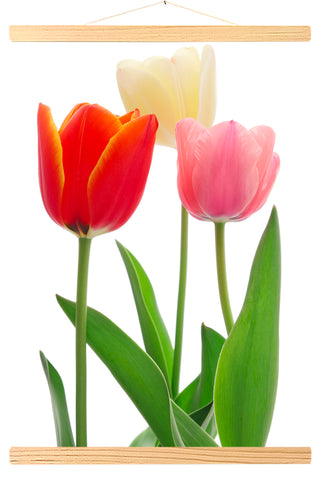 Tulipes colorées (587)