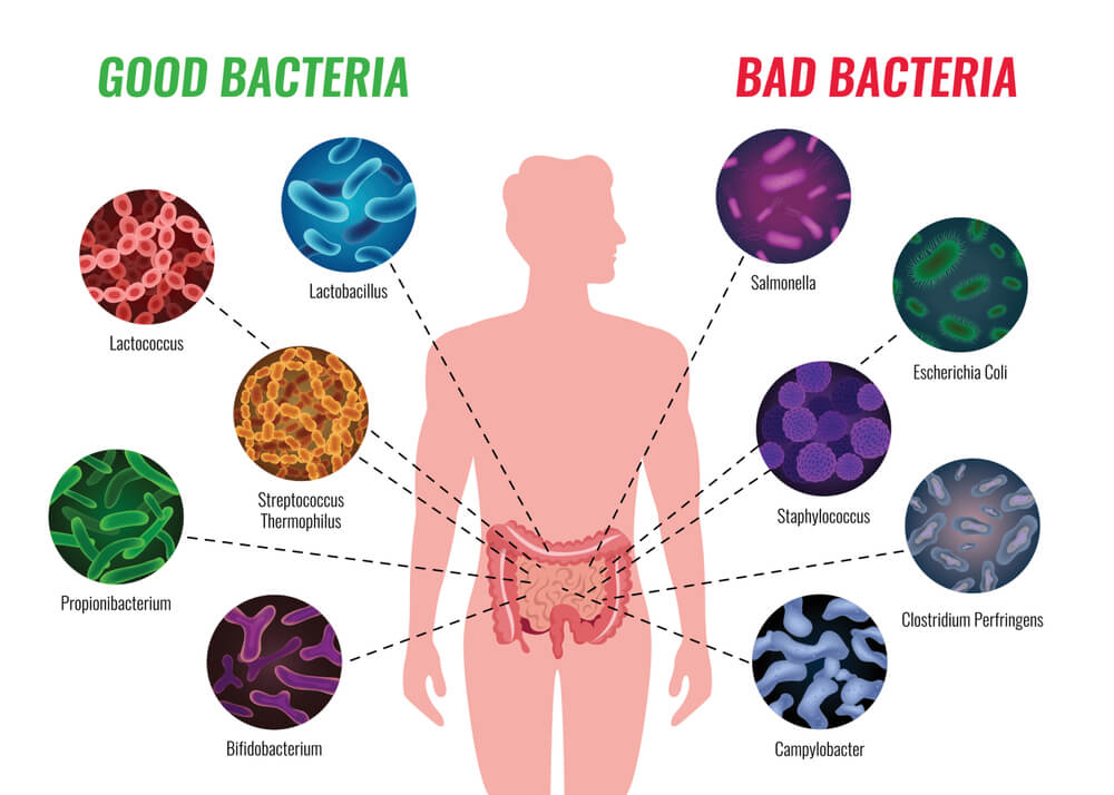 Good Gut Bacteria for Weight Loss