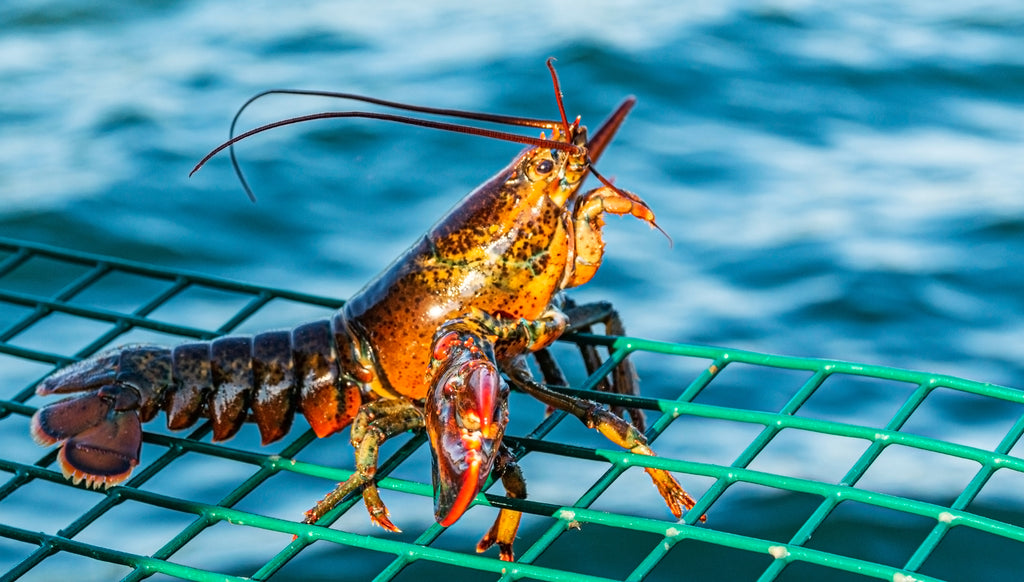 From The Lobstermen's Traps To Your Doorstep: Where Is Your Lobster From?