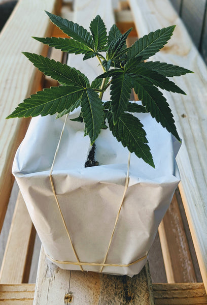*30% Off Pre-Orders* 2021 USDA Organic CBD Hemp Seedlings