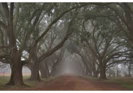 Oak Alley In Fog By Alexey - Katy Furniture