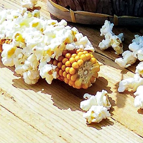 Farmers Popcorn Cob - Microwave on the Cob!