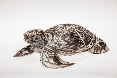 Sea Turtle Natural - #99M