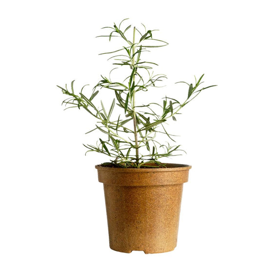 Organic Rosemary Potted (1 each)