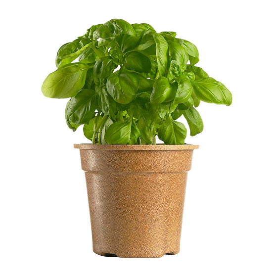 Organic Basil Potted (1 each)