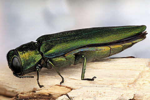 Emerald Ash Borer beetle that is threatening the health and wellness of the Ash wood tree species