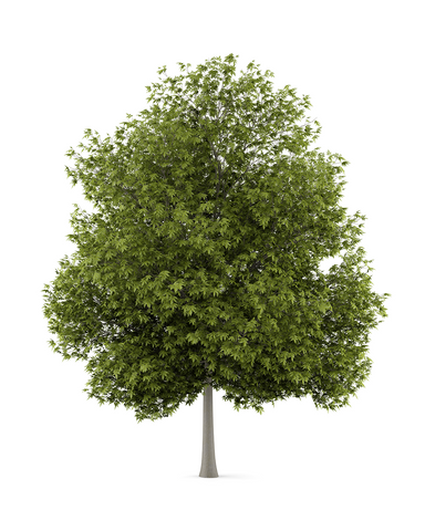 White Ash Tree- premium hardwood tree. Forest 2 Home offers White Ash wood to woodworkers, makers, wood turners, and creators