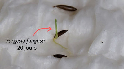 How to Germinate Fargesia Bamboo Seeds? (Non Tracing)