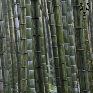 Giant Moso Bamboo Seeds