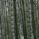 Bamboo seeds discovery pack