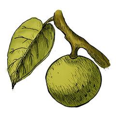manchineel is a poisonous plant