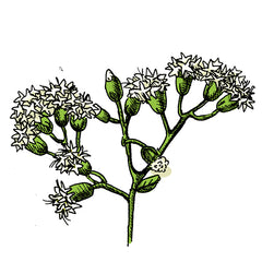 the white snakeroot is a poisonous plant