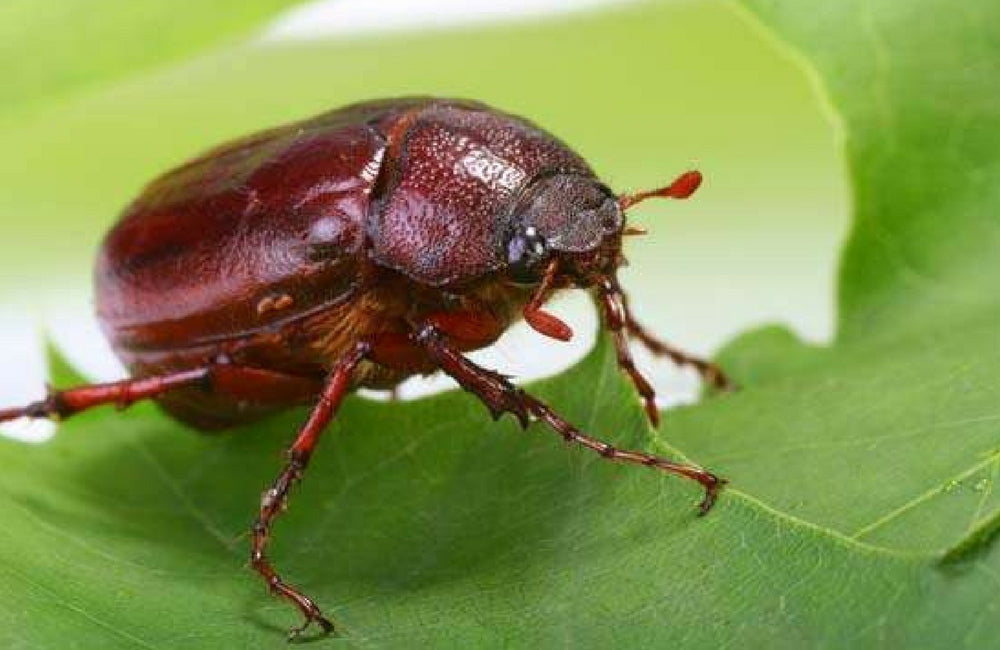 edible insects june bug