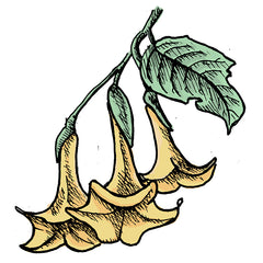the angel's trumpet is a poisonous plant