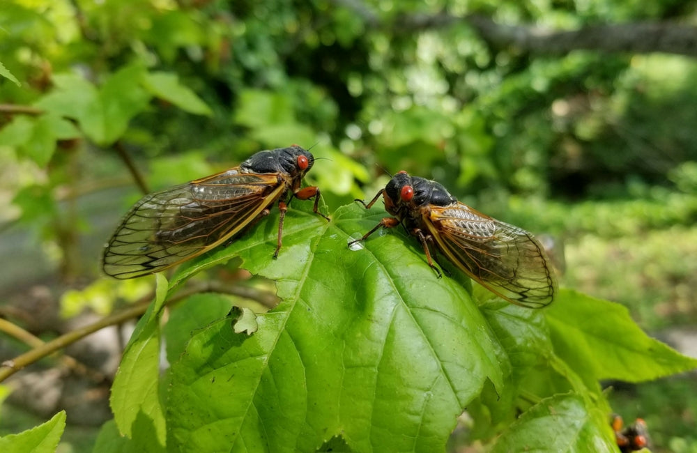 edible insects cicadas