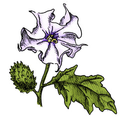 the jimsonweed is a poisonous plant