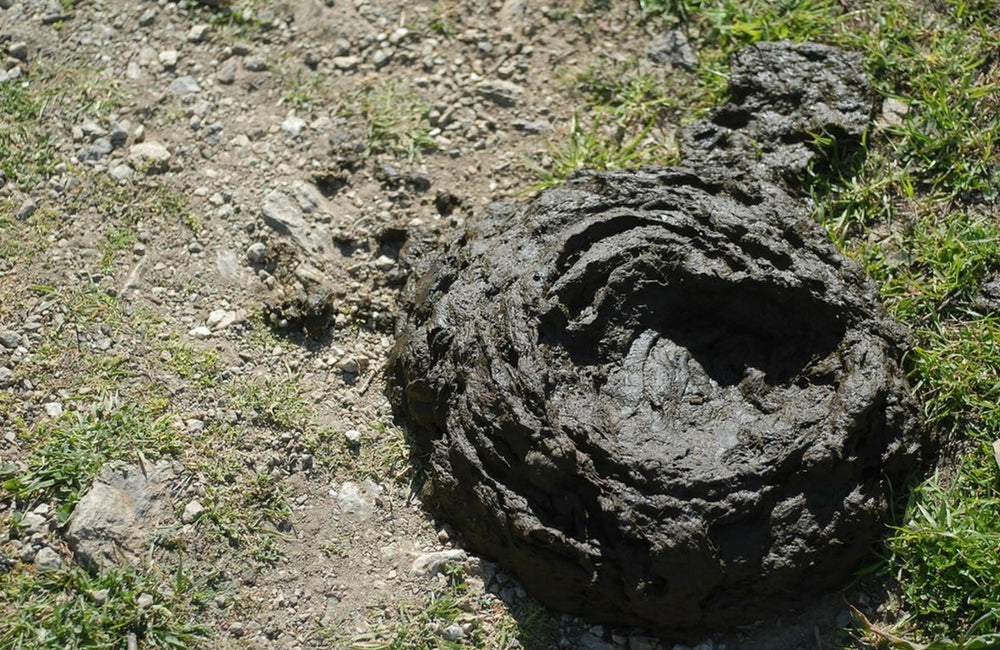 buffalo cow scat