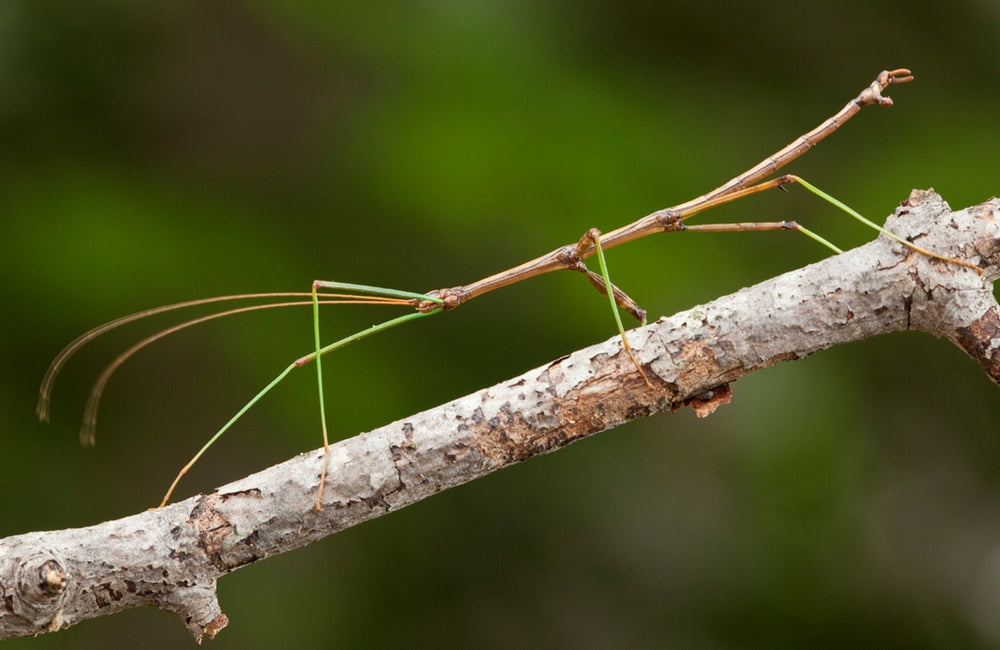 edible insects walking sticks