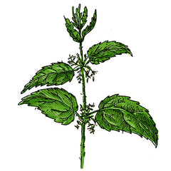 the stinging nettle is a poisonous plant