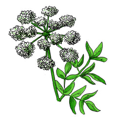 poison hemlock is a poisonous plant